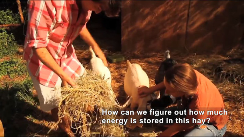 People feeding dried hay to goats. Caption: How can we figure out how much energy is stored in this hay?