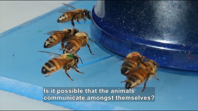 Six bees. Caption: Is it possible that the animals communicate amongst themselves?