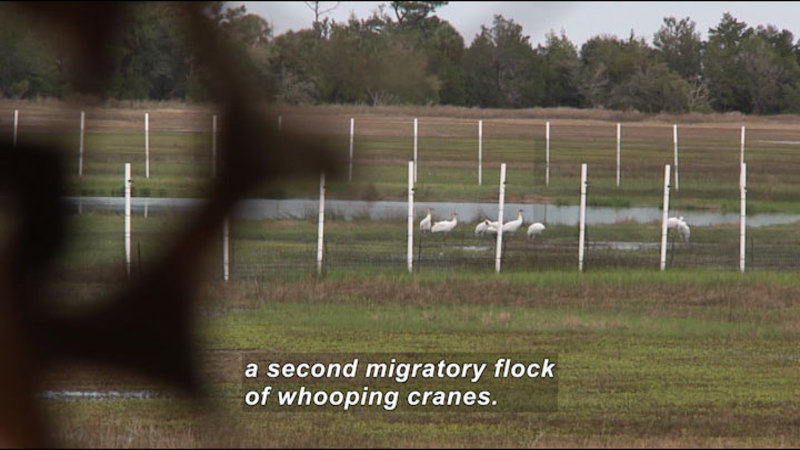 A handful of white birds with long legs cluster together near the edge of a pond. Caption: a second migratory flock of whooping cranes.