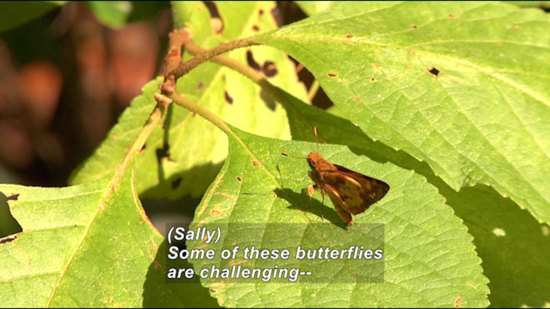 Small light and dark brown butterfly with wings closed sitting on a leaf. Caption: (Sally) Some of these butterflies are challenging--