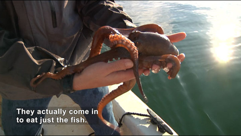 Person standing in a boat holding an octopus. Caption: They actually come in to eat just the fish.