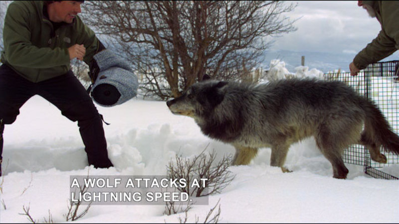 Still image from Expedition Wild: Inside the Wolf Pack