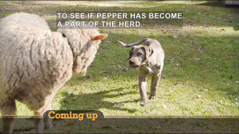 A dog approaching a sheep. Caption: TO SEE IF PEPPER HAS BECOME A PART OF THE HERD.