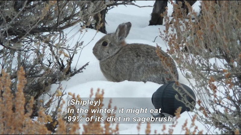 Small rabbit in the snow. Caption: (Shipley) In the winter, it might eat 99% of its diet in sagebrush.