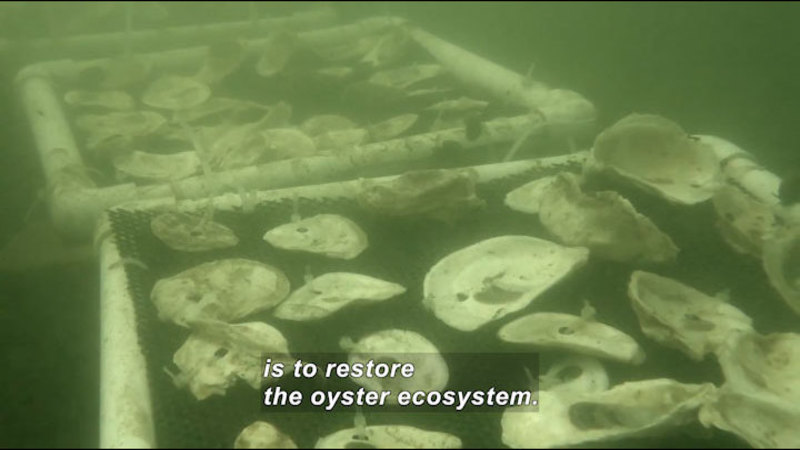 Oysters in the water. Caption: is to restore the oyster ecosystem.