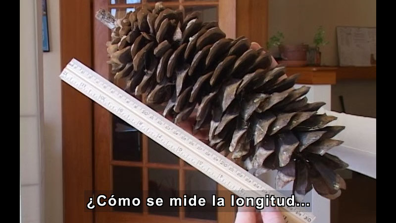 Large pinecone being measured with a ruler. Spanish captions.