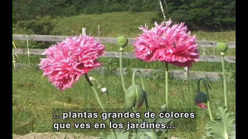 Large pink poppies in bloom. Spanish captions.
