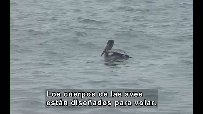 Pelican floating in the water. Spanish captions.