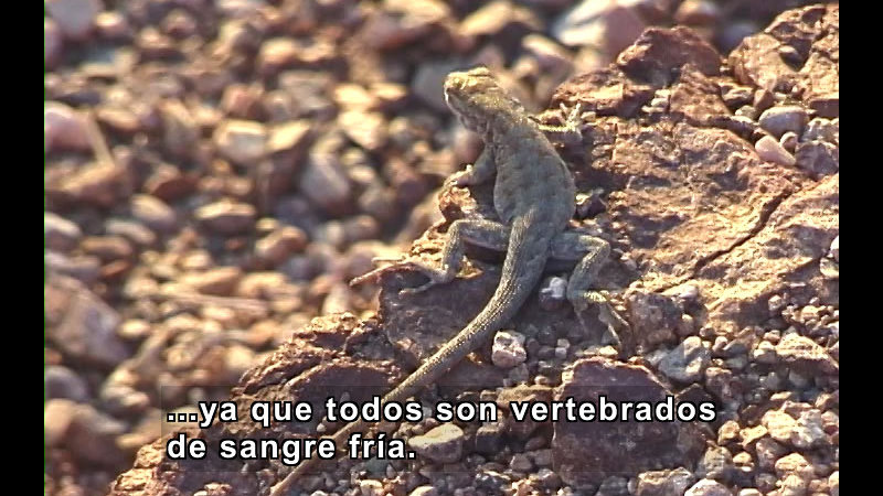 Gecko crawling in the desert. Spanish captions.