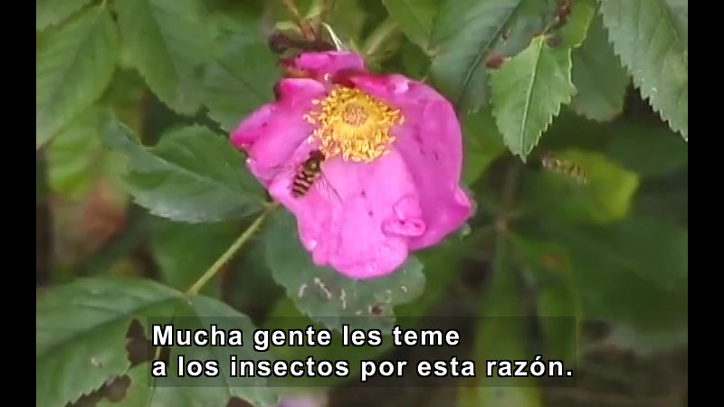 Bee gathering nectar from a flower. Spanish captions.