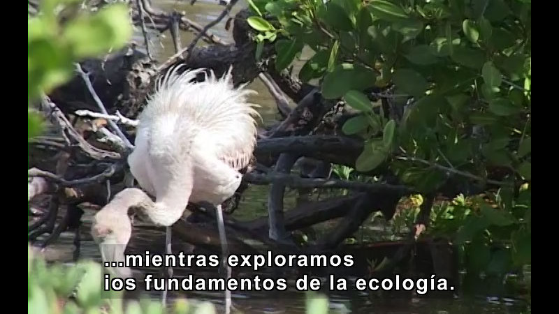 White bird with long legs and a long neck standing in the water with plants in background. Spanish captions.