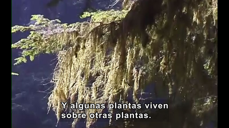 Moss hanging from tree branches. Spanish captions.
