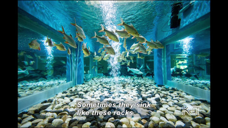 School of fish swimming in a tank. Caption: Sometimes they sink like these rocks.