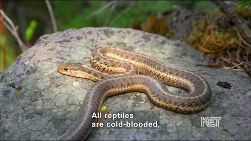 A snake on a rock. Caption: All reptiles are cold-blooded,