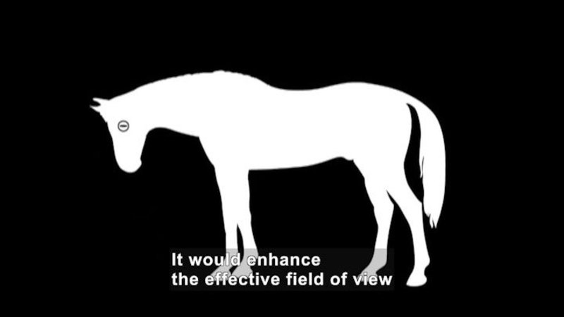 Illustration of a horse with its nose pointed towards the ground. In this position the pupil of the eye is parallel to the ground. Caption: It would enhance the effective field of view
