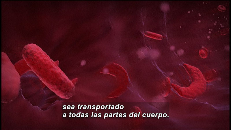 Blood cells flowing through a vein. Spanish captions.