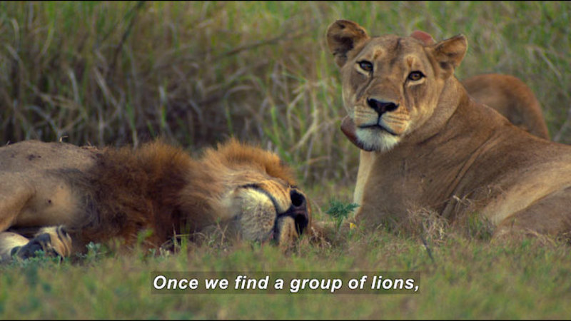 Two lions laying in the grass. Caption: Once we find a group of lions,