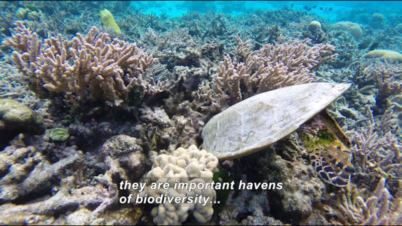 Still image from Steve Palumbi and Megan Morikawa Study Coral Reef Damage in American Samoa