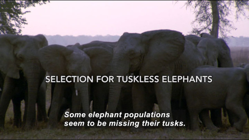 A herd of elephants. Caption: Some elephant populations seem to be missing their tusks.