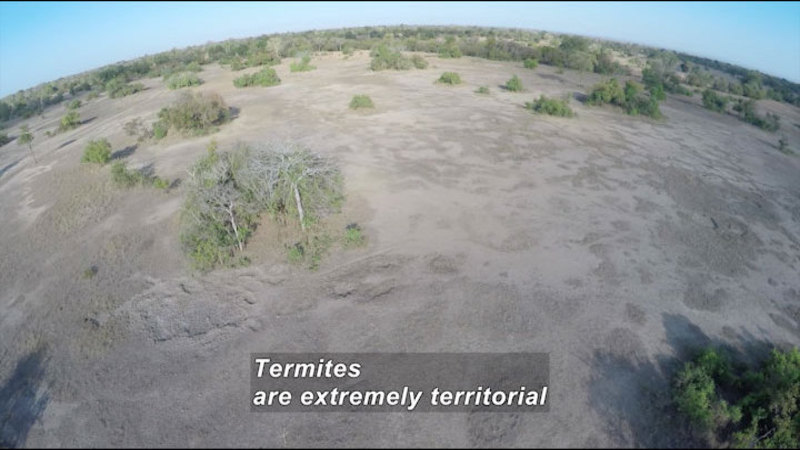 Aerial view of mostly bare light brown land with low lying trees. Caption: Termites are extremely territorial