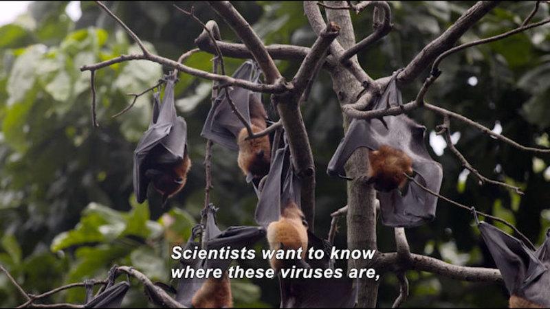 Still image from Virus Hunter: Monitoring Nipah Virus in Bat Populations