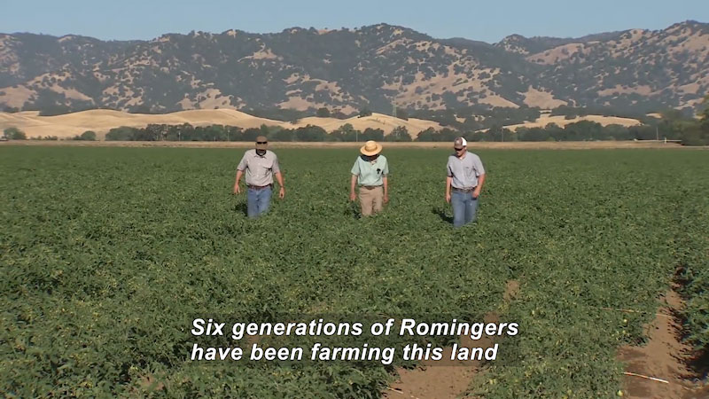 Three men walking through a cultivated field of green plants. Caption: Six generations of Romingers have been farming this land