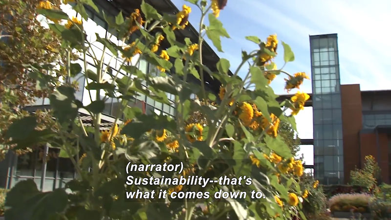 Sunflowers in foreground, modern multi-story buildings in the background. Caption: (narrator) Sustainability -- that's what it comes down to.