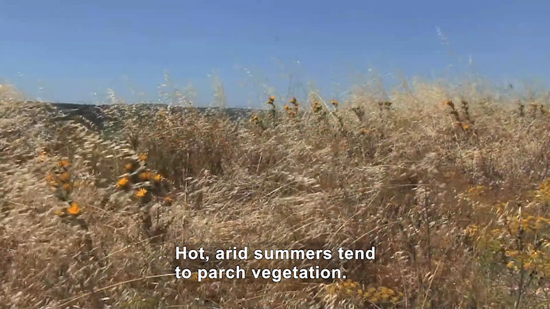 Dry, brown grasses dotted with wildflowers wave in the wind. Caption: Hot, arid summers tend to parch vegetation.