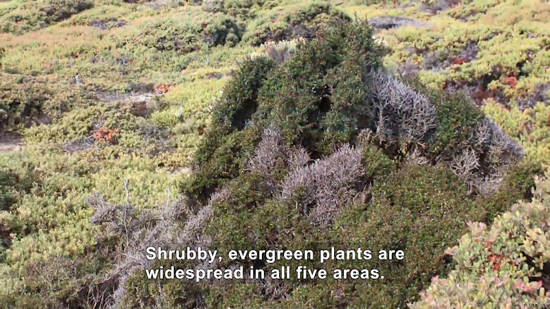 Evergreen plants in shades of green from light to dark cover the landscape. Caption: Shrubby, evergreen plants are widespread in all five areas.