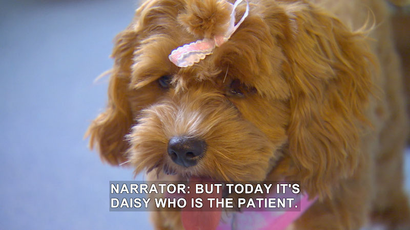 A small light brown dog with wavy long hair and a bow tied to its head. Caption: Narrator: but today it's Daisy who is the patient.