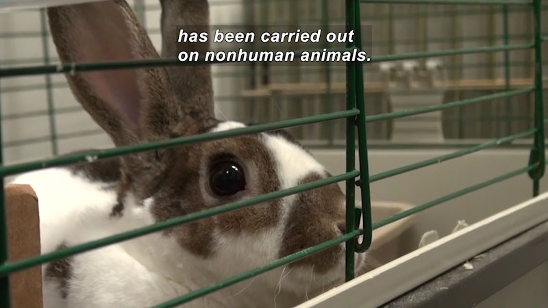 Close up of a brown and white bunny in a cage. Caption: has been carried out on nonhuman animals.