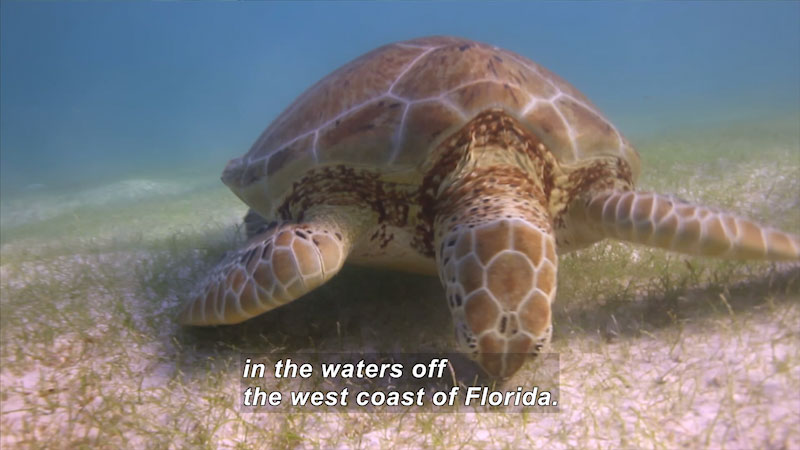 Sea turtle grazing on the ocean floor. Caption: in the waters off the west coast of Florida.