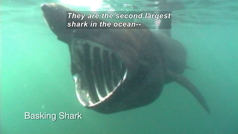 A Basking Shark with its mouth wide open. Caption: They are the second largest shark in the ocean--