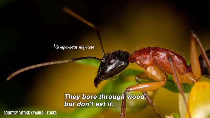 Closeup of the front half of an ant. Camponotus nigriceps. Caption: They bore through wood, but don't eat it.