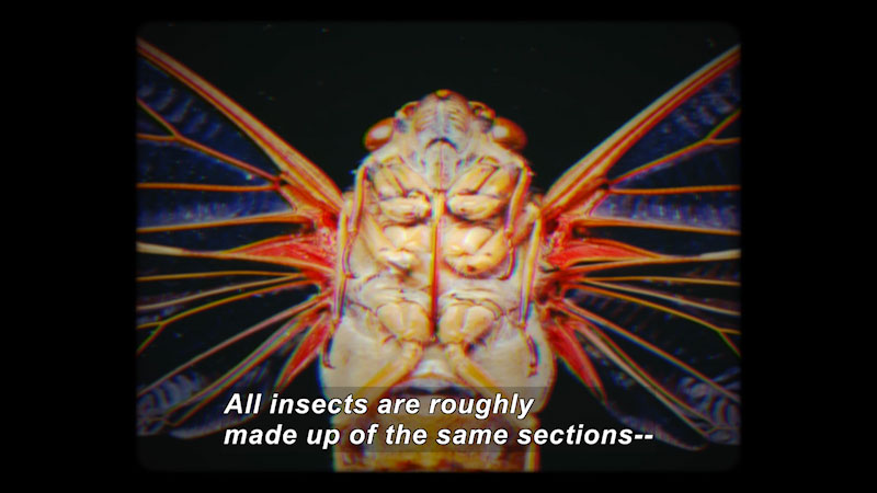 Closeup of the bottom side of a winged insect's body. Caption: All insects are roughly made up of the same sections --