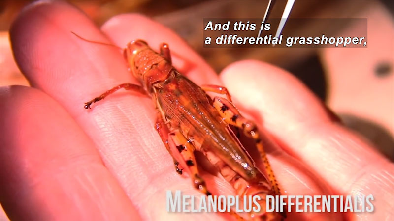 Person holding a grasshopper. Melanoplus Differentialis. Caption: And this is a differential grasshopper,