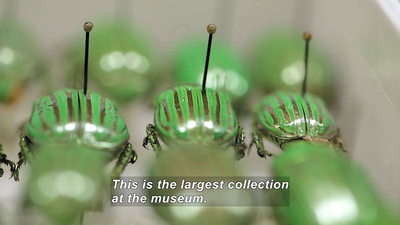 Close up of insects pinned to a board. They have green stripes down their backs. Caption: This is the largest collection at the museum.