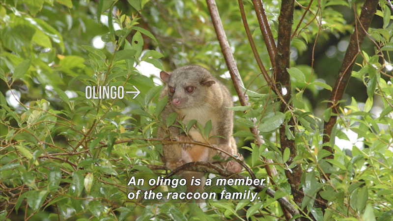Brown fuzzy mammal sitting in a tree. Caption: An olingo is a member of the raccoon family.