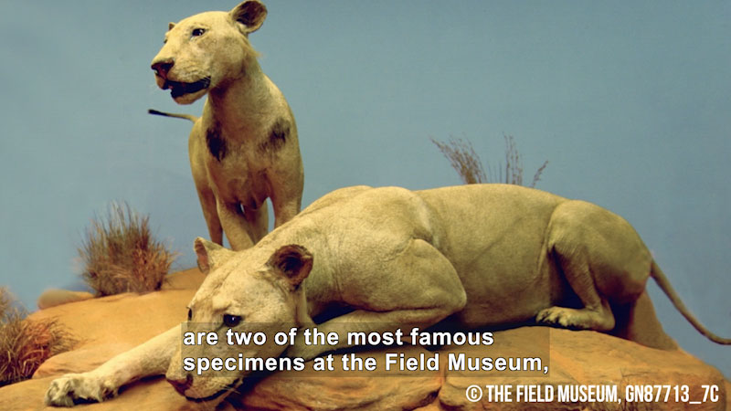 Taxidermized female lions in a museum. Caption: are two of the most famous specimens at the Field Museum,