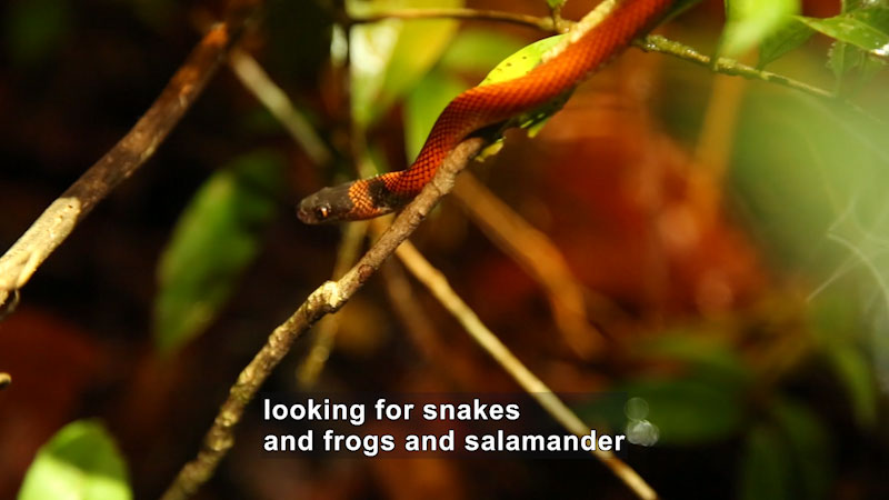 Snake slithering down a thin branch. Caption: looking for snakes and frogs and salamander
