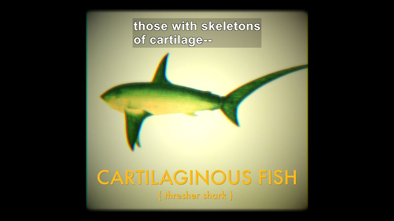 Illustration of a fish with long, pointed fins. Cartilaginous Fish (thresher shark). Caption: those with skeletons of cartilage --