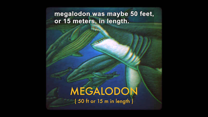 Illustration of a giant shark dwarfing the whales it swims with and is about to bite into one. Caption: megalodon was maybe 50 feet, or 15 meters, in length.