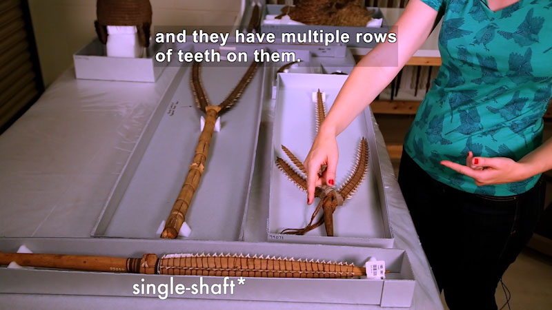 Person gesturing towards spear-like weapons used to hunt shark. Caption: and they have multiple rows of teeth on them.
