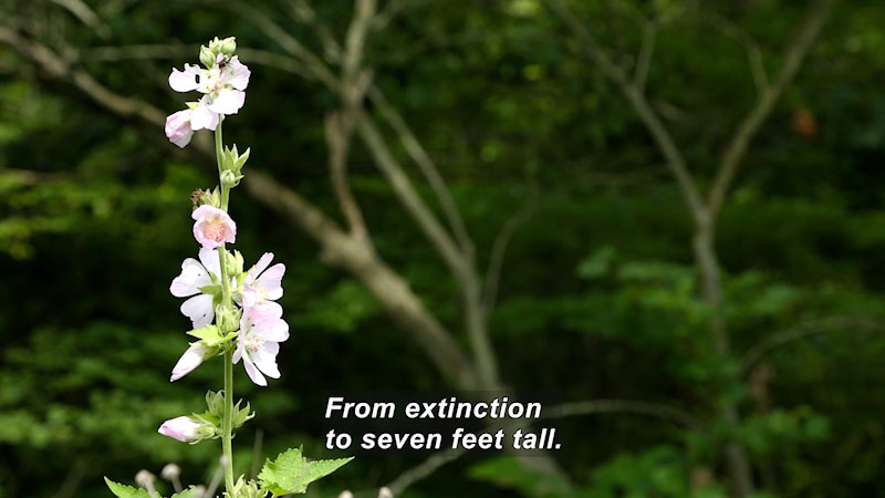The Kankakee Mallow flowers have bloomed at the apex of the plant. Caption: From extinction to several feet tall.