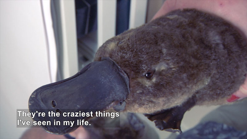 Platypus with a duck-like snout, webbed feet, and a furry body. Caption: They're the craziest things I've seen in my life.