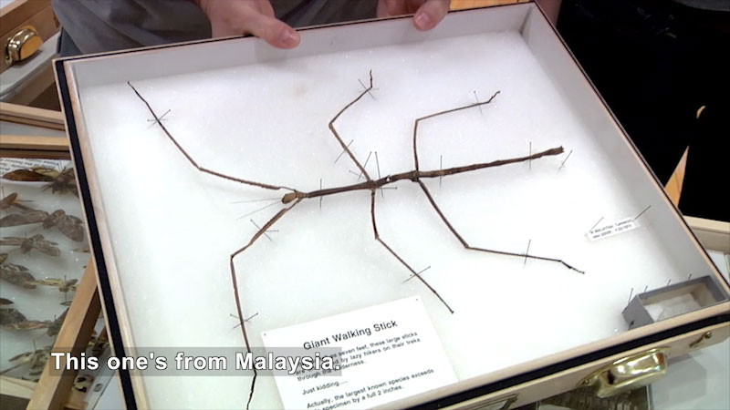 Giant walking stick pinned to a board for display. Caption: This one's from Malaysia.