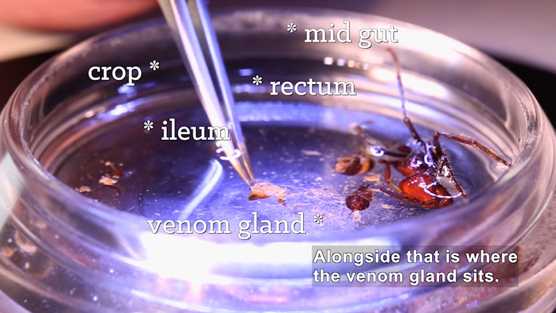 Partially dissected body of an ant. Crop, ileum, rectum, mid gut, venom gland. Caption: Alongside that is where the venom gland sits.