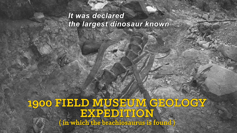Black and white photo of a partially exposed fossil in the ground. 1900 field museum geology expedition (in which the brachiosaurus is found). Caption: It was declared the largest dinosaur known