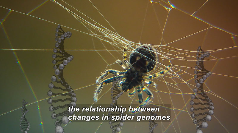 A spider in the center of a web with double helix DNA strands in the background. Caption: the relationship between changes in spider genomes