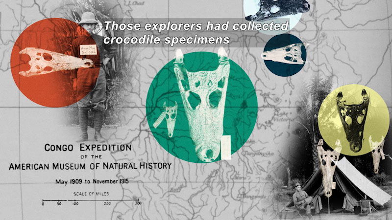 Congo expedition of the American Museum of Natural History May 1909 to November 1915. Black and white photos of explorers with crocodile skulls and a map in the background. Caption: Those explorers had collected crocodile specimens